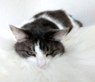 Katze-Sassi