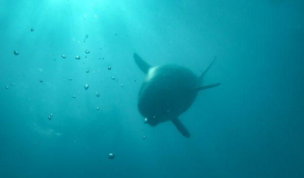 Delfin unter Wasser